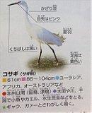 Little Egret コサギ