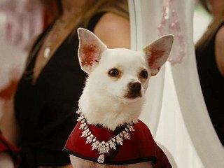 Chloe (the Chihuahua)