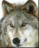 Among Human Wolves