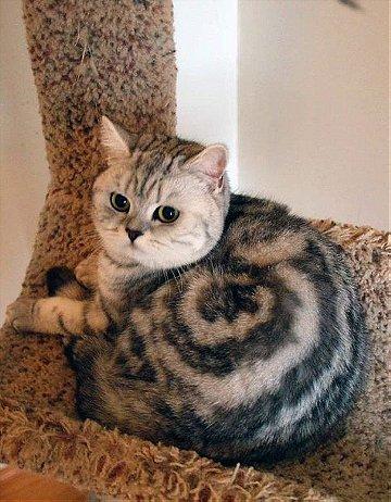 Cinnamon Roll Cat