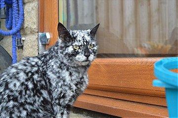 This is Scrappy, The Black Cat Turn into White due to Vitiligo