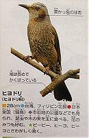 Brown eared Bulbul (ヒヨドリ)