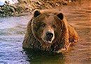 Bart the Bear