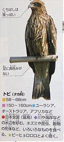 Black Kite トビ