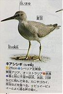 キアシシギ Grey Tailed Tattler