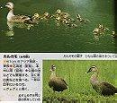 カルガモ Eastern spot-billed duck