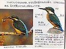 Common Kingfisher カワセミ
