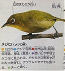 Warbling White-Eye メジロ