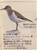 Common Sandpiper イソシギ